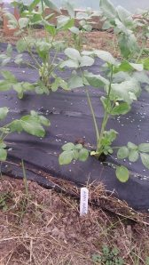Autumn sown Ammi Majus plants in abundance 3rd March 2014