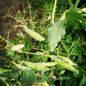 Sweet Pea Seed Pods on the plant
